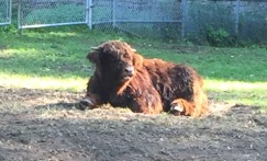 Me in the morning (also: Highland Cattle)
